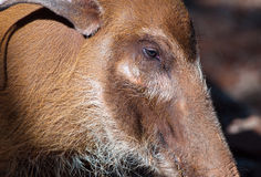 Close-up of red river hog Royalty Free Stock Images