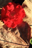 Close up on red rock rose. With autumn leaf on nature. macro Royalty Free Stock Images