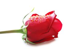 Close up of red rose Royalty Free Stock Image