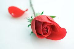 Close-up of red rose Stock Photography