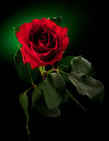 Close up of red rose. On dark green background Stock Images