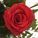 Close-up of red rose. Stock Images