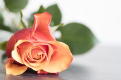 Red orange rose on dark table. copy space. stock image