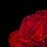 Close up of a red rose, black background Royalty Free Stock Photo
