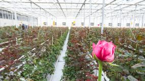 Greenhouse with rose flowers. Close-up of a red rose on a blurred floral background in a greenhouse royalty free stock images