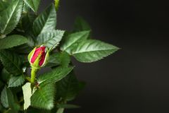 Close up of a red rose bud on a black background royalty free stock photo