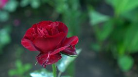 Close up of red rose on a bush in a garden. Green blurry nature background with place for text. Summertime Stock Photo