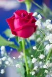 Close up red rose. Close up beautiful  fresh red rose Stock Images