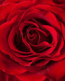 Close up of red rose on dark green Royalty Free Stock Photography