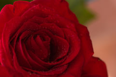 Close-up of a red rose in dew drops, macro image. Beautiful red rose with dew drops. Macro image, close-up, , shallow depth of field Stock Images