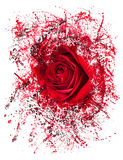 Close up of red rose exploding Royalty Free Stock Photo