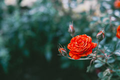 Close up red rose in the field. Vintage tone Background Royalty Free Stock Photo