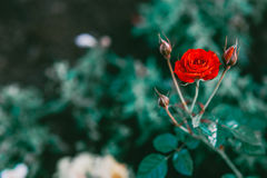Close up red rose in the field. Vintage tone Background Stock Photos