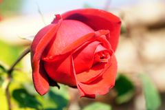 Close-up of Red Rose bud royalty free stock images
