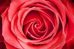 Close up of red rose flower Royalty Free Stock Image