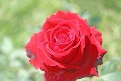 Red rose flower. Close up Red rose flower stock image