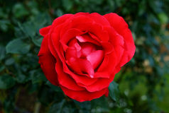 Close up of a red rose Royalty Free Stock Images