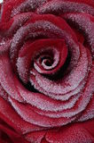 Close up of red rose heart Royalty Free Stock Image