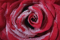 Close up of red rose heart Stock Images
