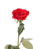 Close up of red rose. Royalty Free Stock Photography
