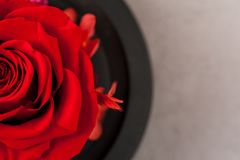 Close up of red rose royalty free stock photos