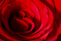 Close up of red rose petal Stock Image