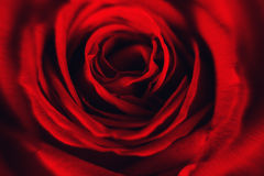 Close up of red rose petal. Background of roses. Beautiful flower stock image