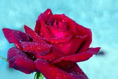 Red rose closeup isolated on blue. Royalty Free Stock Images