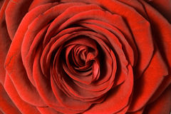 Close up of red rose petals Royalty Free Stock Images