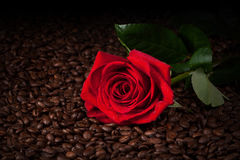Close up of red rose on roasted coffee beans Stock Images
