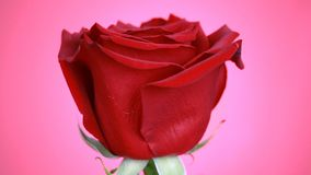 Close-up of a red rose rotates on pink background. Macro shot rose with petals. stock video