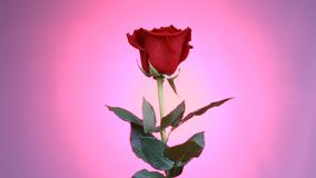 Close-up of a red rose rotates on pink background. Macro shot rose with petals. stock video footage