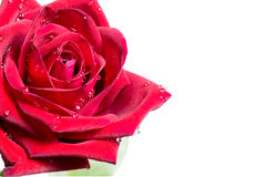 Close up red rose with water drop on white backgroung design for. Signboard, poster, notice board Royalty Free Stock Images
