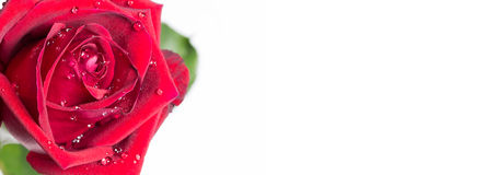 Close up red rose with water drop on white backgroung design for. Signboard, poster, notice board Royalty Free Stock Photos