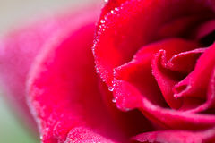 Close-up of red rose with water drops Stock Photography
