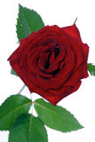 Close-up of red rose on white background Stock Photography
