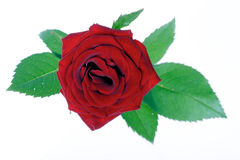 Close-up of red rose on white background Royalty Free Stock Image
