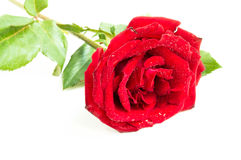 Close up of red rose on white background ,Selective focus Royalty Free Stock Images
