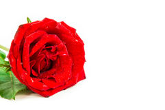 Close up of red rose on white background ,Selective focus. Close up of red rose on white background. There are some water drop on the rose. Selective focus Royalty Free Stock Images