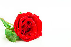 Close up of red rose on white background ,Selective focus. Close up of red rose on white background. There are some water drop on the rose. Selective focus Royalty Free Stock Photo