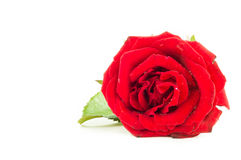Close up of red rose on white background ,Selective focus. Close up of red rose on white background. There are some water drop on the rose. Selective focus Royalty Free Stock Photos