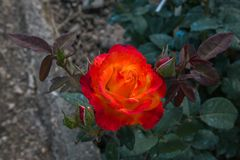 Close up of red rose with yellow shades in the park Stock Image