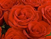 Close up of a red roses Stock Photography