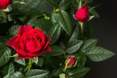 Close-up of red roses on a black background.  stock images