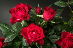 Close-up of red roses on a black background.  royalty free stock image