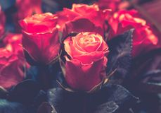 Close up on red roses royalty free stock photos