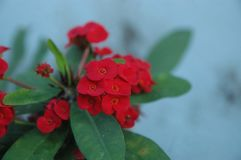 Close up Red roses. Beautiful red flower green leaves color blur background royalty free stock photos
