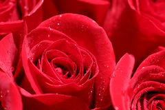 Close up of red roses and water drops. Royalty Free Stock Image