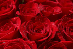 Close up of red roses and water drops. Stock Photography