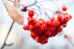 Close-up of red Rowan berries, selective focus. Autumn, harvest concept. Close up of red Rowan berries, selective focus. Autumn, harvest concept royalty free stock image
